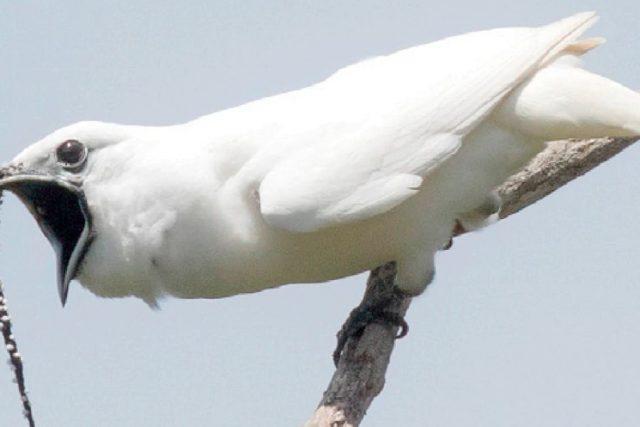 Белият звънар ухажва женската с крясъци от 113 децибела